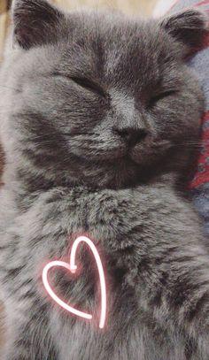 British Blue Cat, Animals And Pets, Cute Animals, Blue Cats, Kitty, Wallpaper, Memes, Disney, Highlights