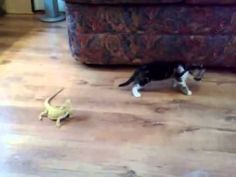 Uncle Yoyo found this one for you: Cat/Kitten vs. Lizard, I cannot stop laughing!