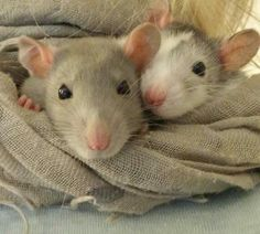 Who doesn't love a rat?
