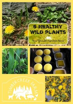 Wild plants growing in your garden and grassy yard can be harvested for eating and crafting. Many contain medicinal properties.  Includes directions for making a dandelion salve