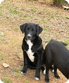 Huntsville, TN - Labrador Retriever/Shar Pei Mix. Meet Bear a Dog for Adoption.