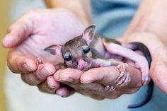 Tiny baby kangaroo