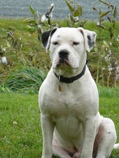 american bulldog dogo mix breed