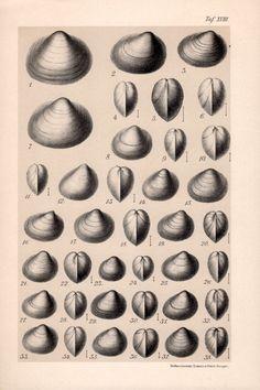 1909 Freshwater Molluscs Print Bivalve Mollusc by Craftissimo