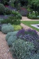 Purple and Blue planting scheme with Lavender, Sage, Senecio and Santolina enclosed by a traditional boxwood hedge.