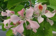 Pink Orchid Tree 10 Seeds - Bauhinia monandra