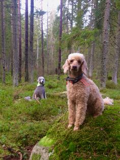 """""""Atlas and Issa in a winter green forest in Sweden"""""""