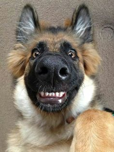 German Shepherds laugh's ... lol .. Smile!!! Luv those teeth!