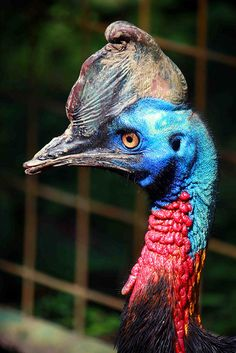 This is a Cassowary. They are one of the most dangerous birds ever. They have HUGE dinosaur claws on their feet, and are extremely bad tempered. They can, and have, disemboweled people who just look at them funny.... I wasn't afraid of birds until now...