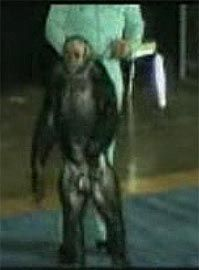 109 Best OLIVER-THE HUMANZEE images | Chimpanzee, Yahoo ...