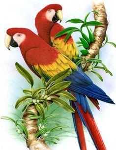 Scarlet Macaw - Pesquisa Google