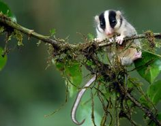 A feather-tailed opossum in Papua New Guinea's Muller Range.