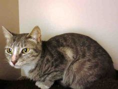 Did you know pixie dust can make you fly? Well, my name is Pixie, and I'm not sure about flying, but I promise I can make you happy! I am a spayed female, gray tabby Domestic Shorthair and I am about 1 year and 6 months old. (ID#A076390)