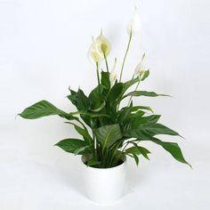 Plante d'intérieur - Spathiphyllum + Pot Blanc