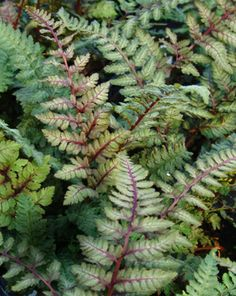 Athyrium niponicum 'Regal Red'Japanese painted fern The dark violet red interior of each 'Regal Red' frond is contrasted by bright silver edges making each leaflet distinct and creating an overall tapestry effect. combines beautifully with red-purple Heucheras such as 'Plum Pudding' and blue sedges like Carex platyphylla or C. 'Blue Zinger'. Pricing: 'Regal Red' LP32 - 32 per flat $48.00   Height 12-18 Inches Spread 18-24 Inches
