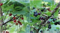 Johannisbeeren und Jostabeeren Fruit, Food, Marmalade, Red Currants, Tips And Tricks, Essen, Meals, Yemek, Eten