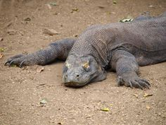 Spotting the dragons of #Komodo on #Rinca Island in Indonesia