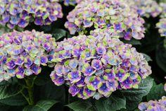 Hortensia Coral Blauw BloemistExclusief