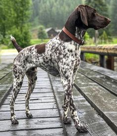 Clicker Training Dogs: Debunking Some Common Myths Gsp Puppies, Pointer Puppies, Pointer Dog, Cute Funny Animals, Cute Baby Animals, I Love Dogs, Cute Dogs, German Shorthaired Pointer, Large Dog Breeds