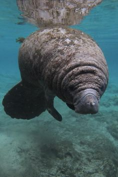 Manatee Crystal River Florida