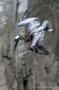 Pelican in the Galapagos | http://www.aladyinlondon.com