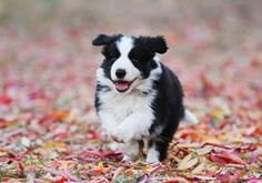 Border Collie obsession
