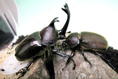 Kabutomusi - rhinoceros beetle (couple) : Most Japanese boys love this beetle very much.