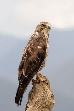 buteo solitarius | Buteo Swainsoni (Calibas) Swainson's Hawk. Bluff Lake Nature Center, Denver, CO 05/10/2014.