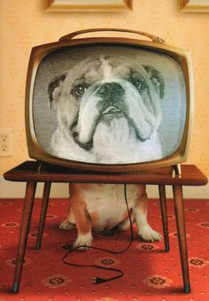 Hey! There is a Bulldog on TV!