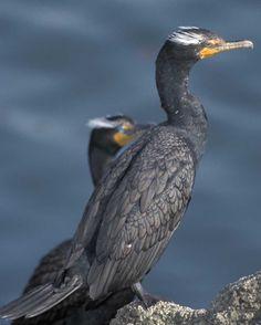 Double-crested Cormorant | Audubon Field Guide