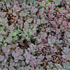 Sedum pluricale 'Island of Sakhalin' - Butterfly Attracting Perennials - Perennials - Avant Gardens Nursery & Design