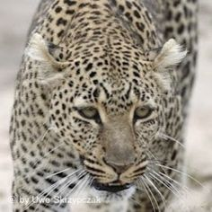 Look me in the eyes... Leopard in the Serengeti. #serengetidiary #serengeti #wildlife #tanzania #wildlife #africa #safari #canon #travel