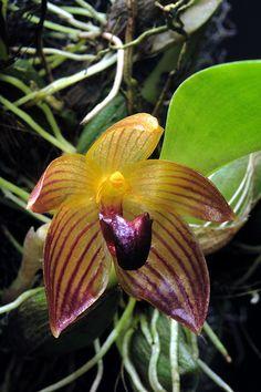 Bulbophyllum pustulatum; by Mikaels orchids