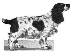 Winner - 1921 - Ch Midkiff Seductive, Spaniel (Cocker) Parti