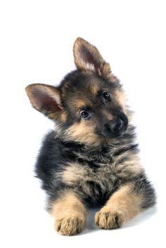 german shepherd puppy <3