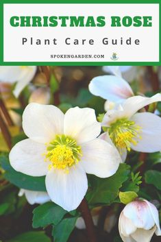 Learn all about the Christmas Rose (Helleborus niger) in this gardener's guide of these beautiful perennials, including plant care, companion plants, and more. Rose Companion Plants, Companion Planting, Perennial Flowering Plants, Blooming Plants, Winter Container Gardening, Rose Plant Care, Planting Roses, Flower Gardening, Garden Care