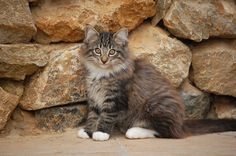Norwegian Forest Cat    Rik Hulst