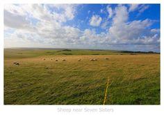 Sheep near Seven Sisters