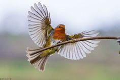 All information about Robin Bird In Flight. Pictures of Robin Bird In Flight and many more. Robin Bird Tattoos, Robin Tattoo, Tattoo Bird, Tattoo Small, Small Birds, Little Birds, Pretty Birds, Beautiful Birds, Red Robin Bird