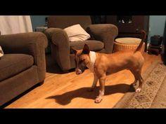 ▶ Bull Terrier tries New method to retrieve ball - YouTube