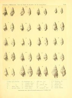 Über die Familie der Rissoiden. II. - Biodiversity Heritage Library