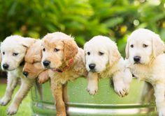 Filhotes de cães: principais cuidados nos primeiros dias de vida - Artigos Cursos CPT