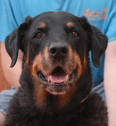 When you meet Max, the first thing you notice is the surprising vitality of this 12-year-old boy. Then he cuddles close, shakes paws/hands, and shares his kind and relaxing smile. Staff and volunteers are smitten with Max and eager to find him a home where his warm personality will be treasured. Max is a Rottweiler, a neutered boy, reportedly compatible with cats and some dogs (once he gets used to them), debuting for adoption today at Nevada SPCA (www.nevadaspca.org).