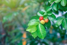 The New [Superfood] Kids on the Block (Part 6): Acerola .. One of the Top 2 or 3 whole food based sources of Vitamin C in the world, which allows one to avoid synthetic Vitamin C Supplements and Vitamin C Supplements derived from GMO corn.