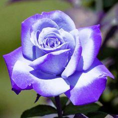 Beautiful Rose Flowers, Beautiful Flowers, Rose Flower Wallpaper, Beautiful Landscapes, Purple Flowers, Garden, People, Pintura, Fitness Abs