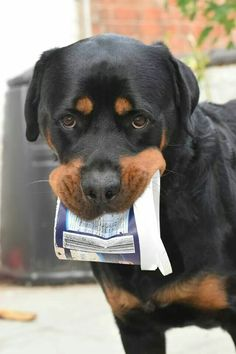 The Calm Rottweiler Pups Personality Big Dogs, I Love Dogs, Cute Dogs, Dogs And Puppies, Doggies, Rottweiler Love, Rottweiler Puppies, Animals And Pets, Cute Animals