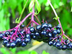 Aronia ist eine natürliche Quelle der Gesundheit - http://freshideen.com/gartengestaltung/garten-pflanzen/aronia.html