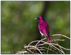 Violet-backed starling - maybe you would have a different opinion of starlings if this one showed up @June Kuiper James