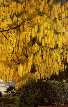 Laburnum - Stanley Spencer/It must have taken a while to paint such detailed flowers!