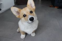 Loki - Corgi of the Day - Monday, July21st